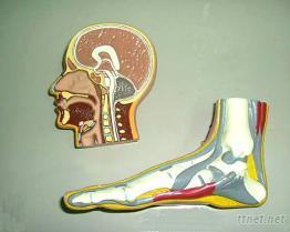人體解剖圖形