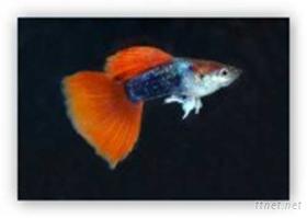 孔雀魚(德系H.B.紅尾禮服)