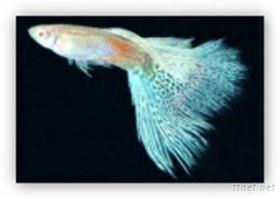 孔雀魚(RRE藍草尾)