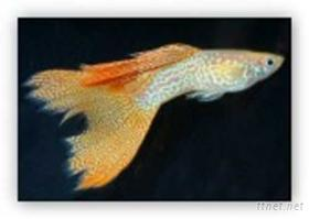 孔雀魚(德系黃化紅蕾絲蛇王)