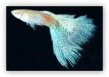 孔雀鱼(RRE蓝草尾)