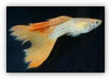 孔雀鱼(德系黄化红蕾丝蛇王)