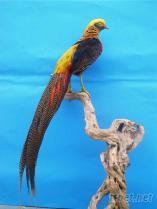 金雞展示毛皮標本