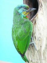 五色鸟标本代工制作