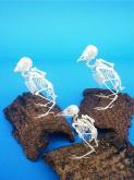 麻雀綠/繡眼/白頭翁鳥類骨格展示研究標本教學器具