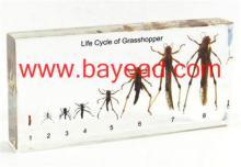 昆蟲教學標本,貝雅精美工藝有限公司