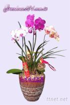 蝴蝶蘭, 蘭花盆栽
