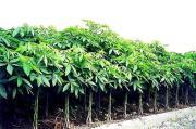 Pachira 나무