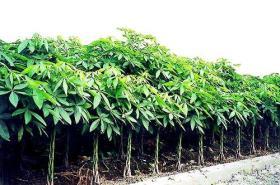 Árbol de Pachira