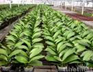 Phalaenopsis young plants