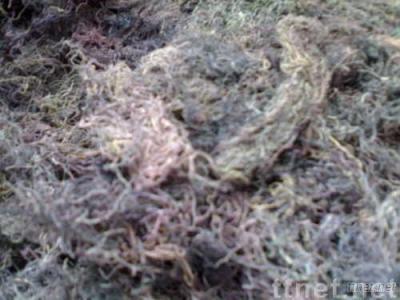 glaciralia seaweeds from indonesia