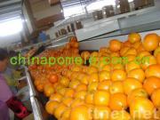 Fresh Navel Orange