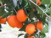 オレンジ、マンダリンオレンジ