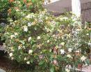 زهرة غردينيا [جسمينويدس] [إلّيس]