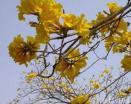 Tabebuia Chrysantha (Jacq.)