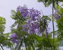 Jacaranda Acutifolia Humb. & Boupl
