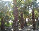 Washingtonia Filieara