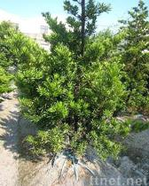 Podocarpus Macrophyllus