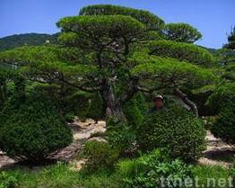 Pinus Thunbergiiparl