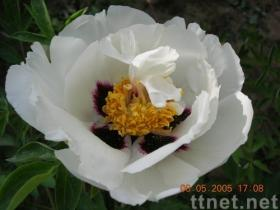 peony(binshanxuelian) plant