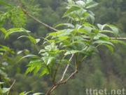 Vine Tea Extract