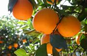 Supply Navel Orange (Fruit, Orange)