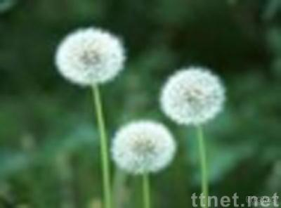 Dandelion Extract Powder