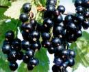 Black Currant Extract/ Anthocyanin